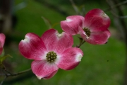 DogwoodBlooms_2004_4840_1920px