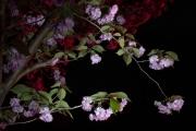 OrnamentalCherryBlooms_Night_2004_4832_1920px
