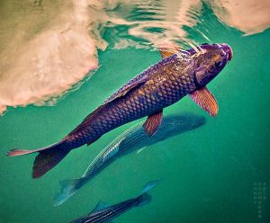 Fish In Water, Lake Mead